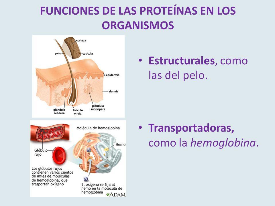 FUNCIONES DE LAS PROTEÍNAS EN LOS ORGANISMOS Estructurales, como las del pelo. Transportadoras, como la hemoglobina.