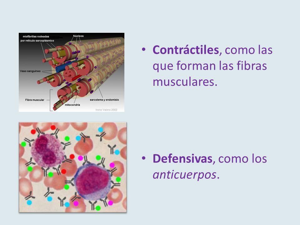 Contráctiles, como las que forman las fibras musculares. Defensivas, como los anticuerpos.