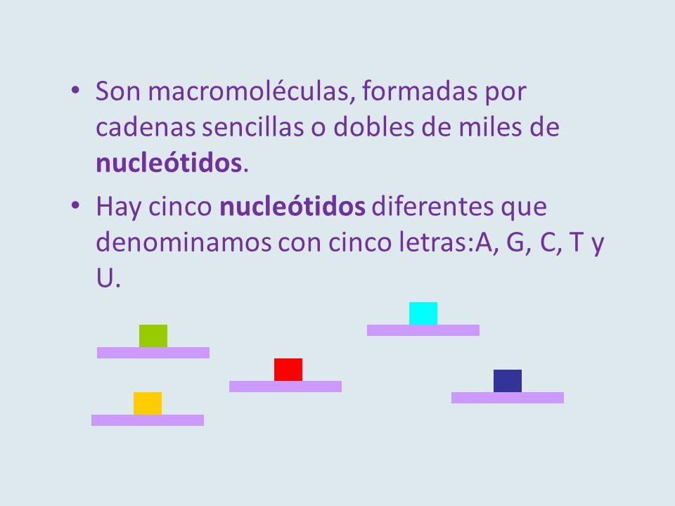Son macromoléculas, formadas por cadenas sencillas o dobles de miles de nucleótidos. Hay cinco nucleótidos diferentes que denominamos con cinco letras