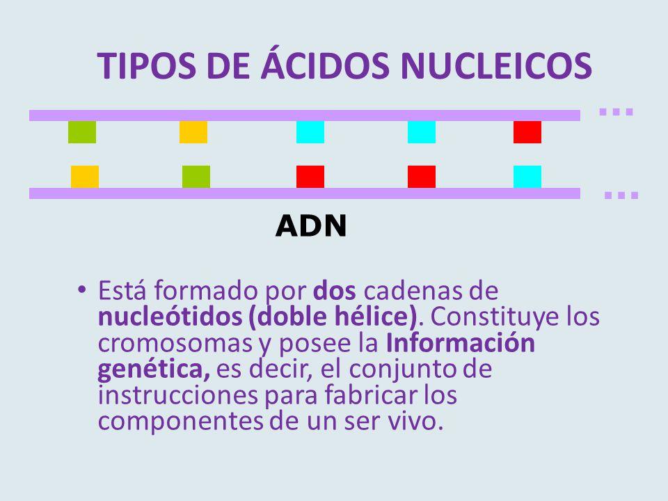 ... ADN Está formado por dos cadenas de nucleótidos (doble hélice). Constituye los cromosomas y posee la Información genética, es decir, el conjunto d