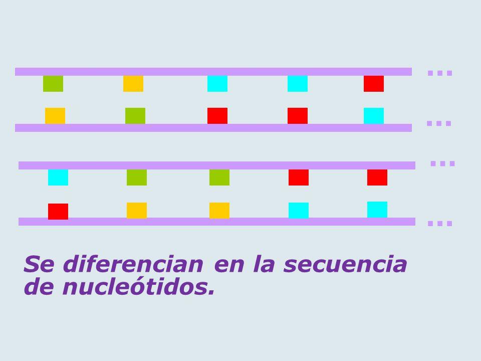 ... Se diferencian en la secuencia de nucleótidos.