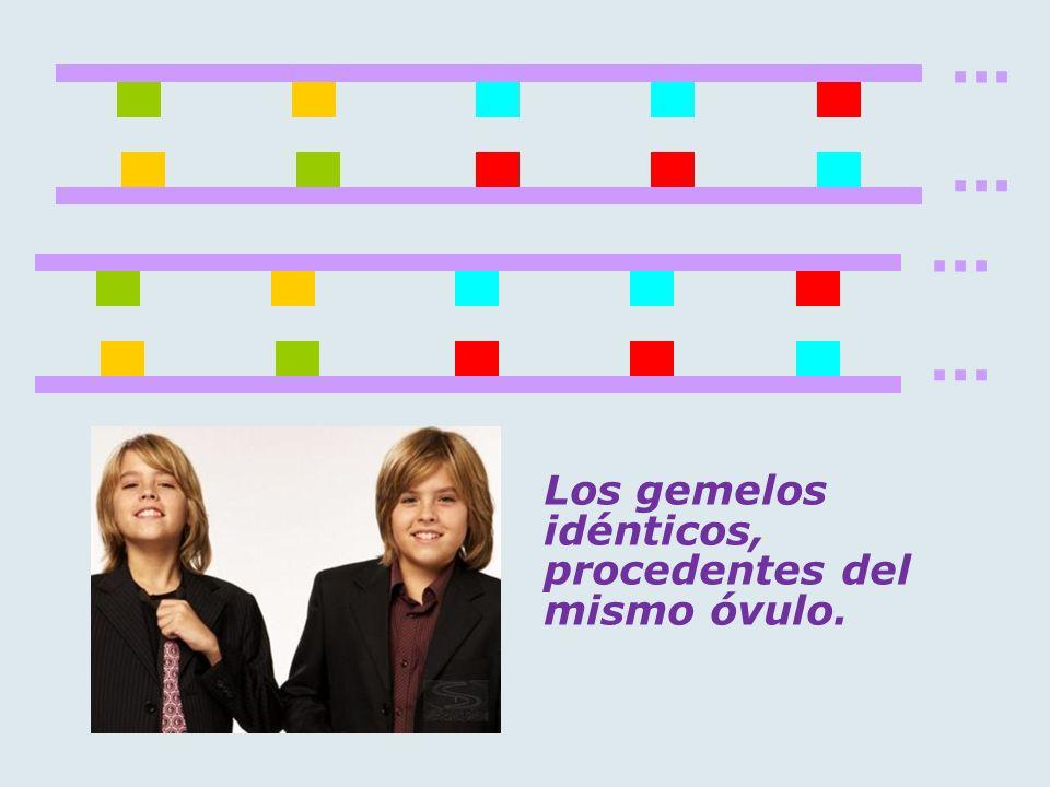 ... Los gemelos idénticos, procedentes del mismo óvulo.