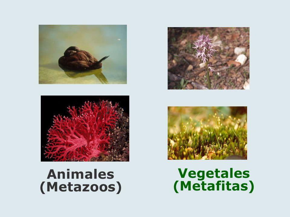 Animales (Metazoos) Vegetales (Metafitas)