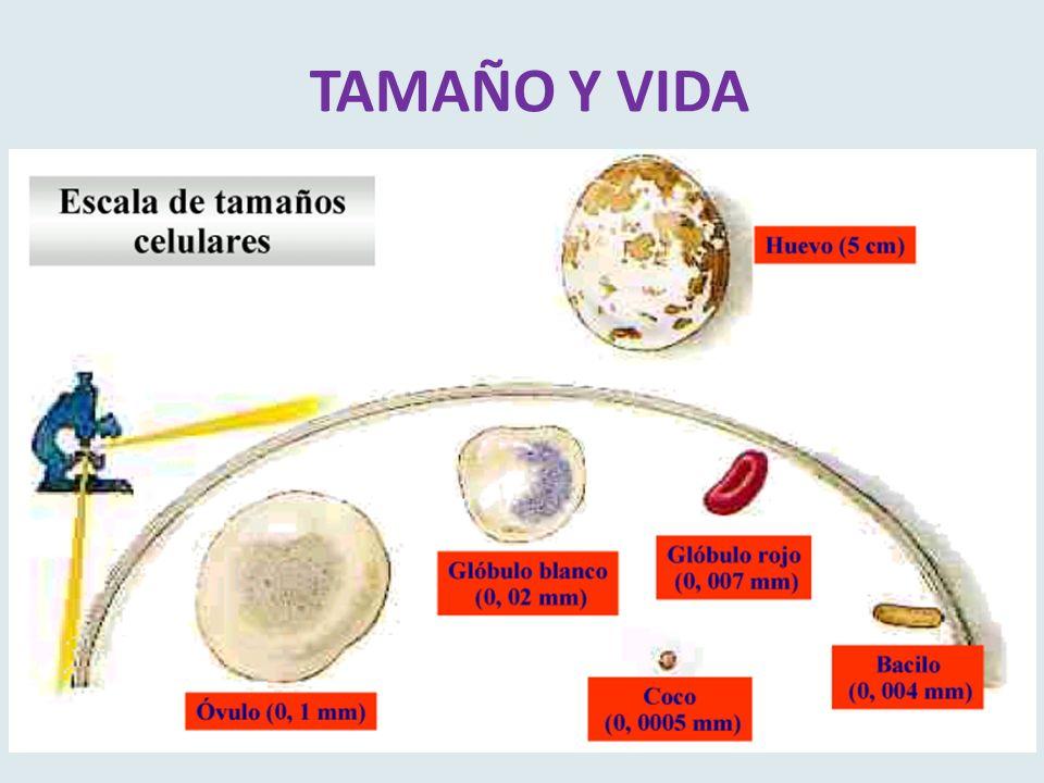 TAMAÑO Y VIDA