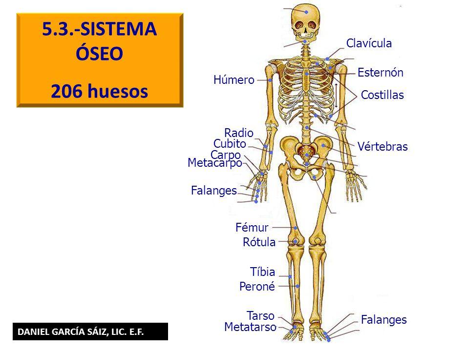 5.3.-SISTEMA ÓSEO 206 huesos Húmero Esternón Costillas Vértebras Clavícula Radio Cubito Falanges Carpo Metacarpo Fémur Rótula Tíbia Peroné Tarso Metat