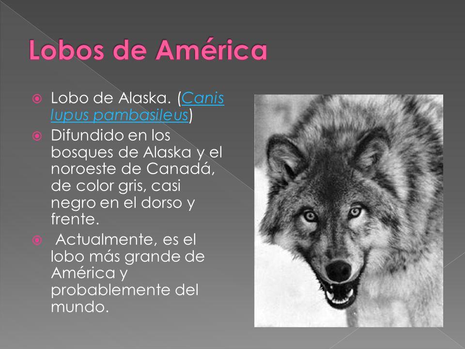 Lobo de Alaska. (Canis lupus pambasileus)Canis lupus pambasileus Difundido en los bosques de Alaska y el noroeste de Canadá, de color gris, casi negro