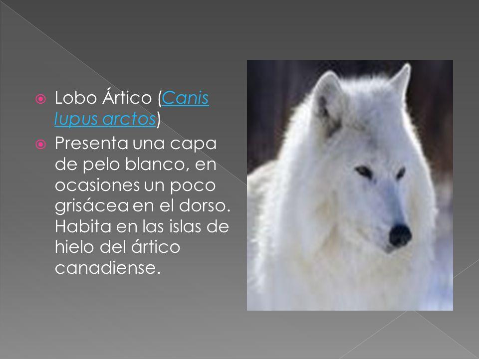 Lobo Ártico (Canis lupus arctos)Canis lupus arctos Presenta una capa de pelo blanco, en ocasiones un poco grisácea en el dorso. Habita en las islas de