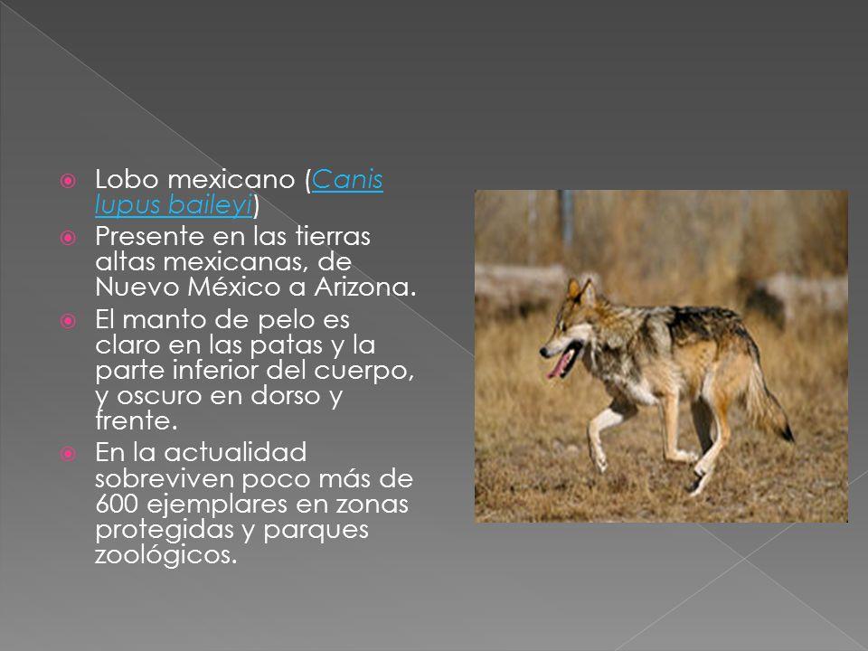 Lobo mexicano (Canis lupus baileyi)Canis lupus baileyi Presente en las tierras altas mexicanas, de Nuevo México a Arizona. El manto de pelo es claro e