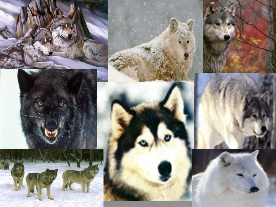 Lobo Ártico (Canis lupus arctos)Canis lupus arctos Presenta una capa de pelo blanco, en ocasiones un poco grisácea en el dorso.