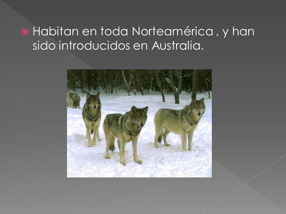 Lobo mexicano (Canis lupus baileyi)Canis lupus baileyi Presente en las tierras altas mexicanas, de Nuevo México a Arizona.