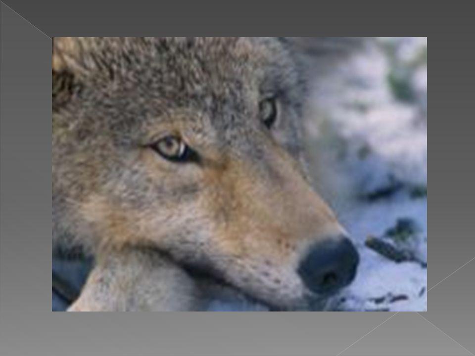 Los lobos alcanzan su madurez sexual a los dos o tres años.