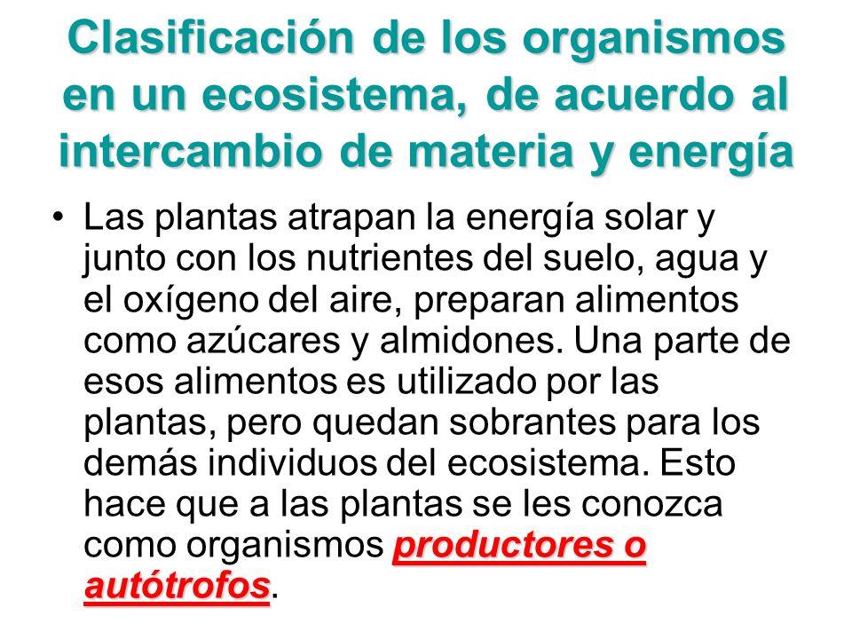 Clasificación de los organismos en un ecosistema, de acuerdo al intercambio de materia y energía productores o autótrofosLas plantas atrapan la energí