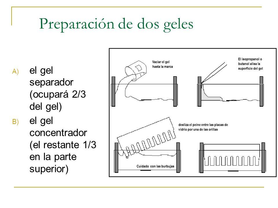 Preparación de dos geles A) el gel separador (ocupará 2/3 del gel) B) el gel concentrador (el restante 1/3 en la parte superior)