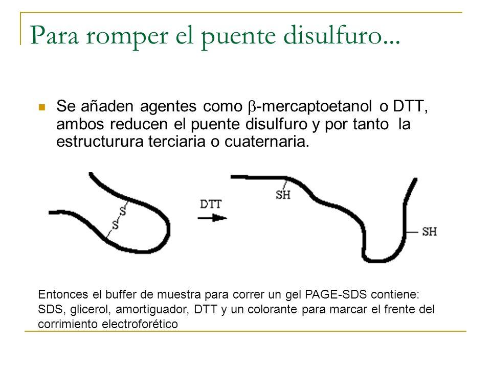 Para romper el puente disulfuro... Se añaden agentes como -mercaptoetanol o DTT, ambos reducen el puente disulfuro y por tanto la estructurura terciar