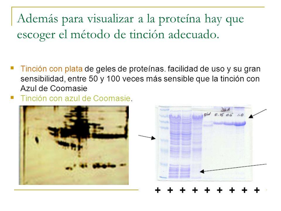 Además para visualizar a la proteína hay que escoger el método de tinción adecuado. Tinción con plata de geles de proteínas. facilidad de uso y su gra