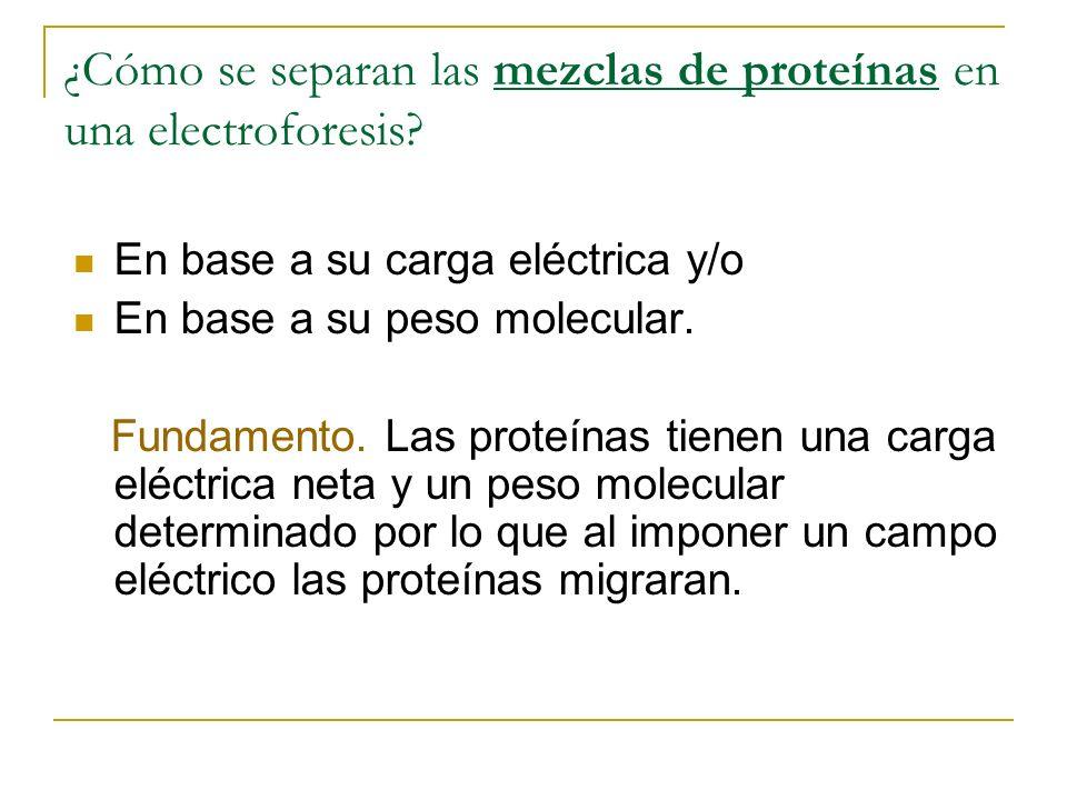 ¿Cómo se separan las mezclas de proteínas en una electroforesis? En base a su carga eléctrica y/o En base a su peso molecular. Fundamento. Las proteín