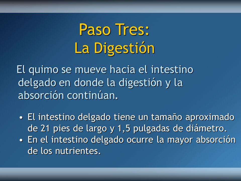 El quimo se mueve hacia el intestino delgado en donde la digestión y la absorción continúan. El intestino delgado tiene un tamaño aproximado de 21 pie