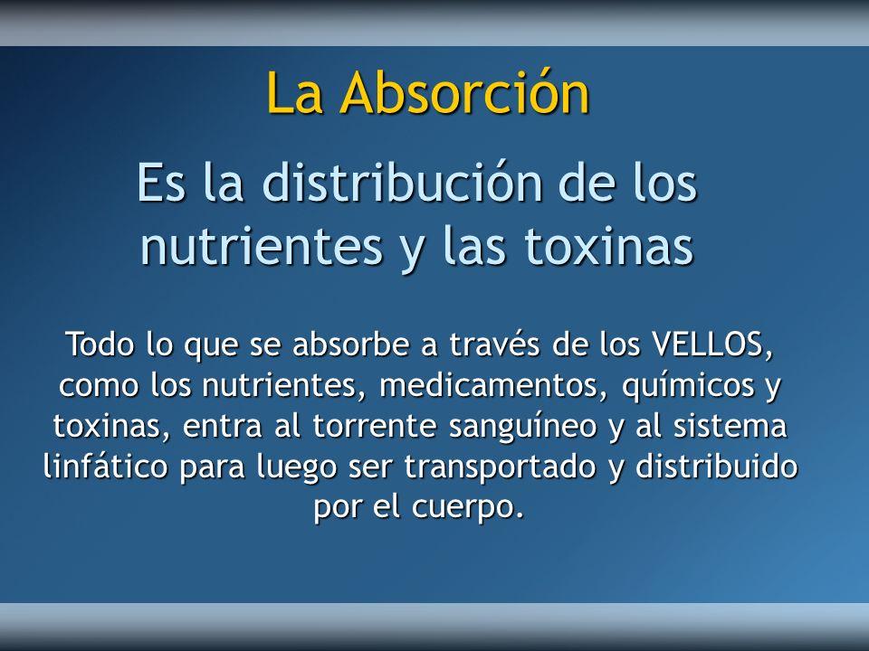 Todo lo que se absorbe a través de los VELLOS, como los nutrientes, medicamentos, químicos y toxinas, entra al torrente sanguíneo y al sistema linfáti
