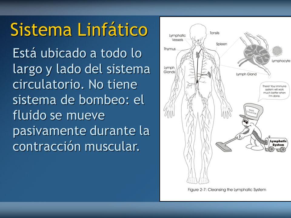 Está ubicado a todo lo largo y lado del sistema circulatorio. No tiene sistema de bombeo: el fluido se mueve pasivamente durante la contracción muscul
