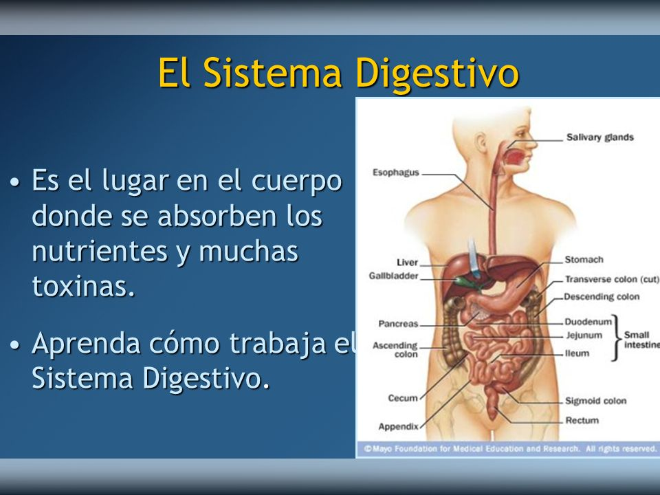 El Sistema Digestivo Es el lugar en el cuerpo donde se absorben los nutrientes y muchas toxinas.Es el lugar en el cuerpo donde se absorben los nutrien