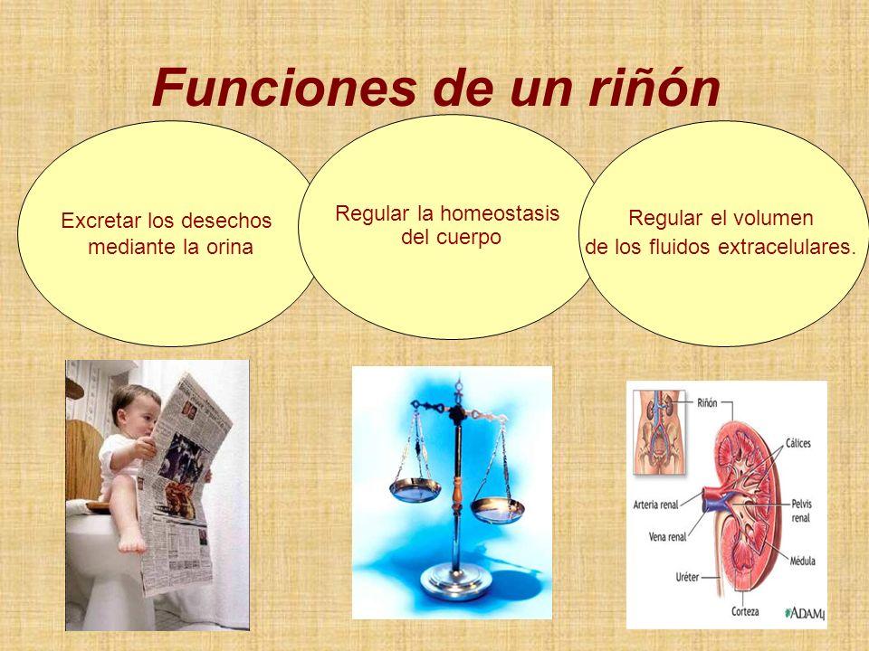 Excretar los desechos mediante la orina Funciones de un riñón Regular la homeostasis del cuerpo Regular el volumen de los fluidos extracelulares.