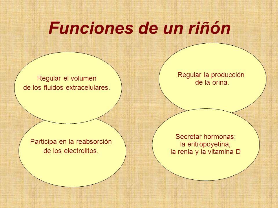 Regular la producción de la orina. Secretar hormonas: la eritropoyetina, la renia y la vitamina D Participa en la reabsorción de los electrolitos. Reg