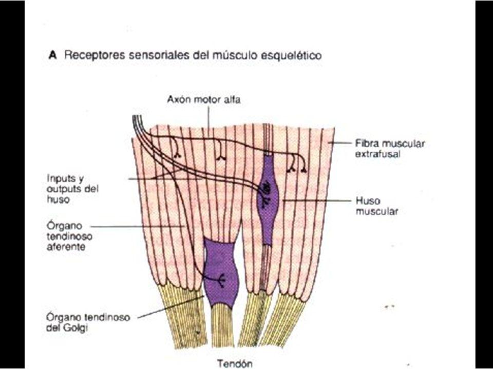 Inervacion Recíproca Cuando un musculo se contrae reflejamente, la excitación del agonista implica la inhibición simultánea del músculo antagonista.