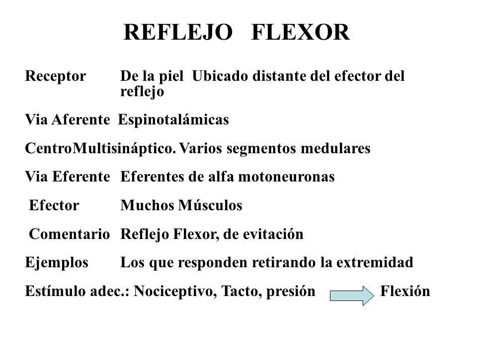 REFLEJO FLEXOR ReceptorDe la piel Ubicado distante del efector del reflejo Via Aferente Espinotalámicas CentroMultisináptico. Varios segmentos medular
