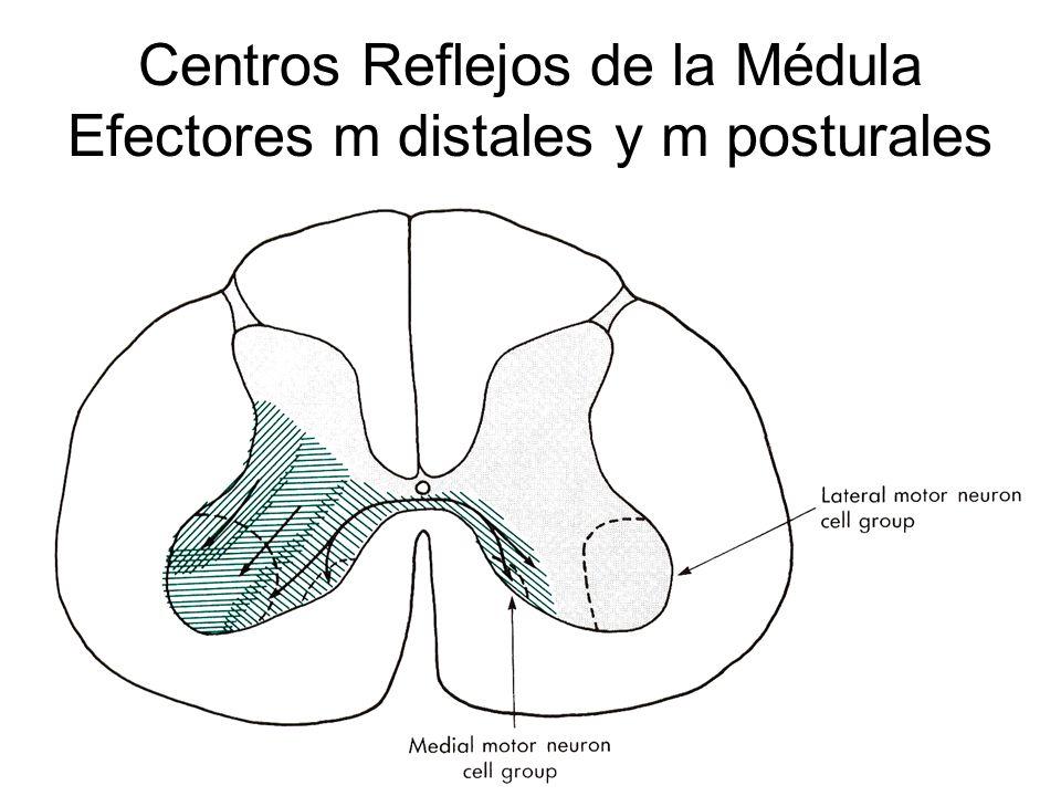 Centros Reflejos de la Médula Efectores m distales y m posturales