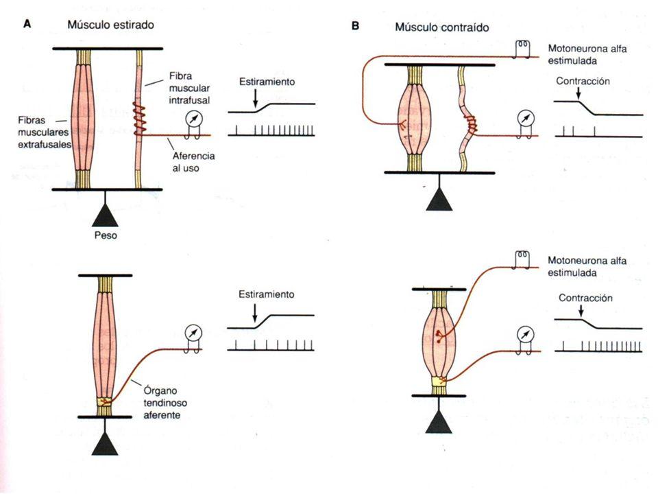 REFLEJO ANTIMIOTATICO ReceptorOrgano tendinoso de Golgi.