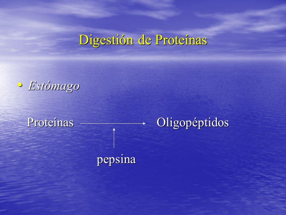 Digestión de Proteínas Estómago Estómago Proteínas Oligopéptidos Proteínas Oligopéptidos pepsina pepsina