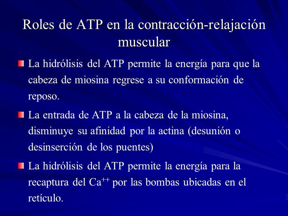 Roles de ATP en la contracción-relajación muscular La hidrólisis del ATP permite la energía para que la cabeza de miosina regrese a su conformación de