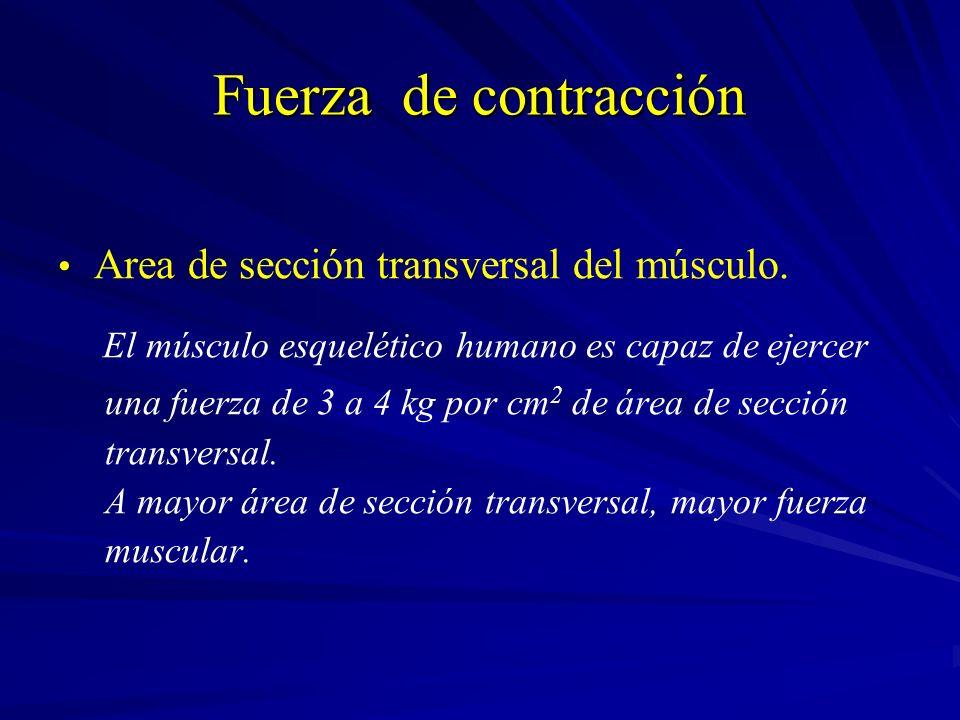 Fuerza de contracción Area de sección transversal del músculo. El músculo esquelético humano es capaz de ejercer una fuerza de 3 a 4 kg por cm 2 de ár