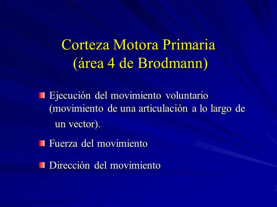 Corteza Motora Primaria (área 4 de Brodmann) Ejecución del movimiento voluntario (movimiento de una articulación a lo largo de un vector). un vector).