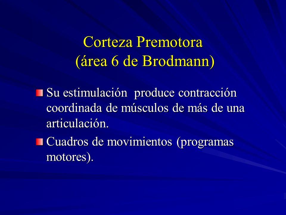 Corteza Premotora (área 6 de Brodmann) Su estimulación produce contracción coordinada de músculos de más de una articulación. Cuadros de movimientos (