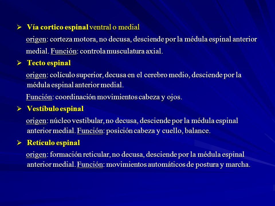 Vía cortico espinal ventral o medial Vía cortico espinal ventral o medial origen: corteza motora, no decusa, desciende por la médula espinal anterior
