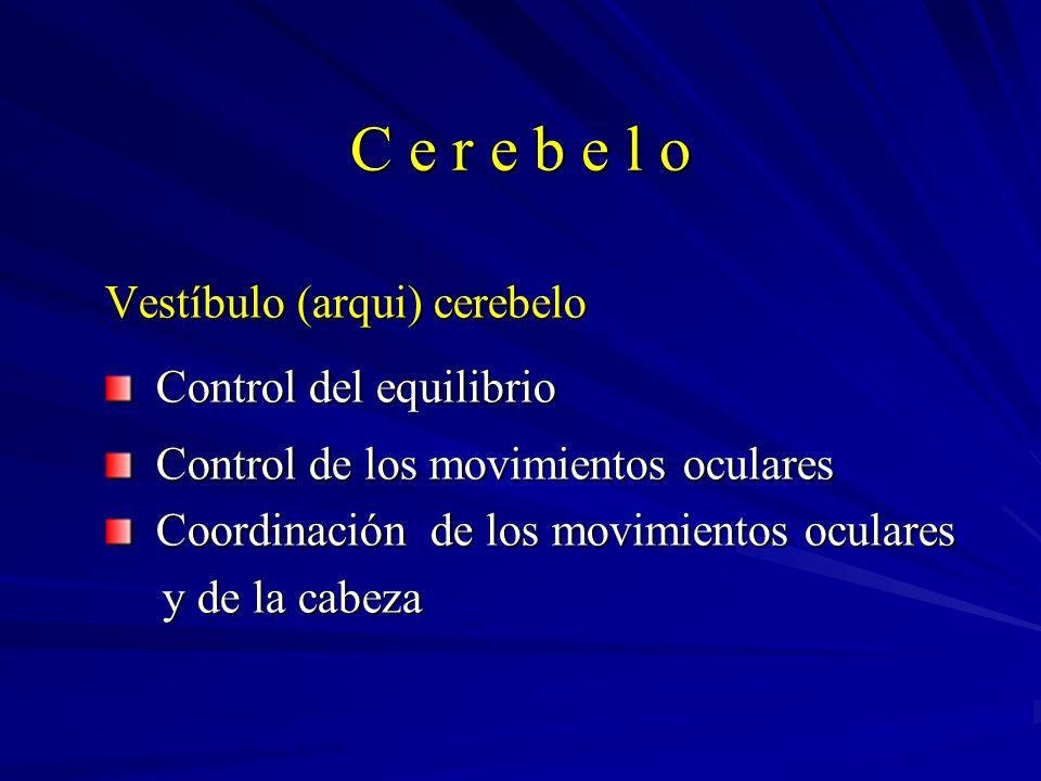 C e r e b e l o Vestíbulo (arqui) cerebelo Control del equilibrio Control del equilibrio Control de los movimientos oculares Control de los movimiento