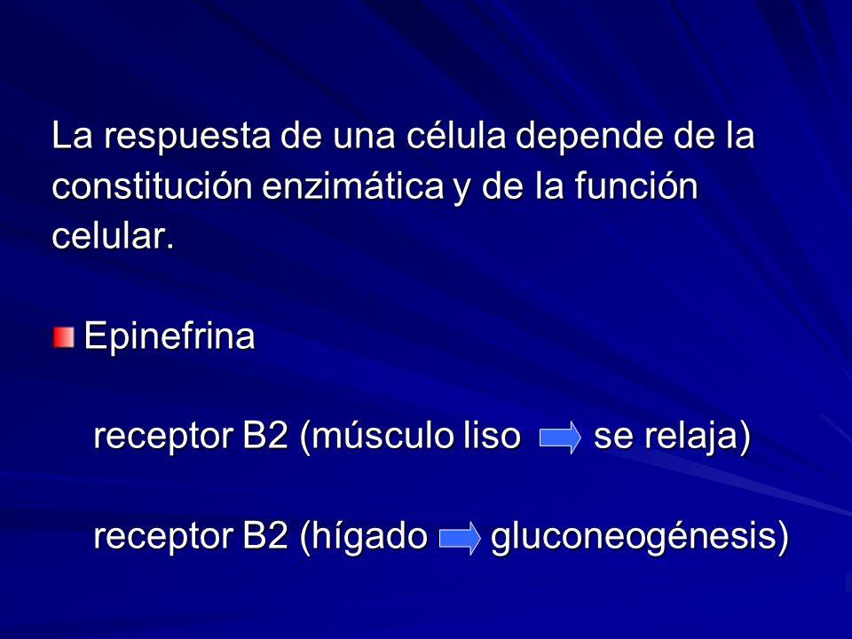 La respuesta de una célula depende de la constitución enzimática y de la función celular.Epinefrina receptor B2 (músculo liso se relaja) receptor B2 (