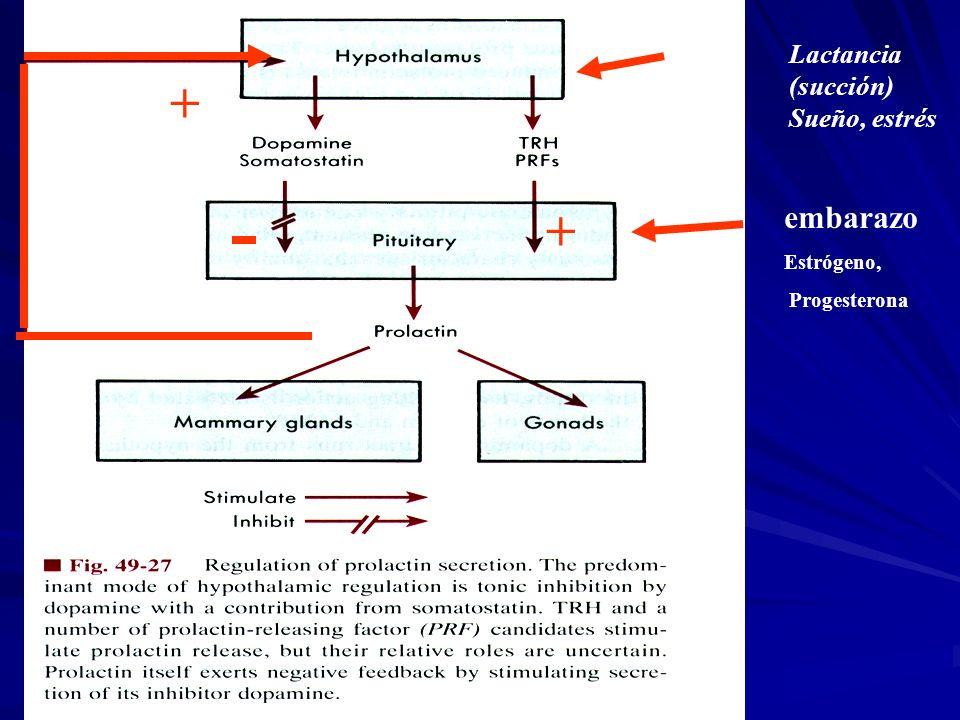 embarazo Estrógeno, Progesterona Lactancia (succión) Sueño, estrés + +