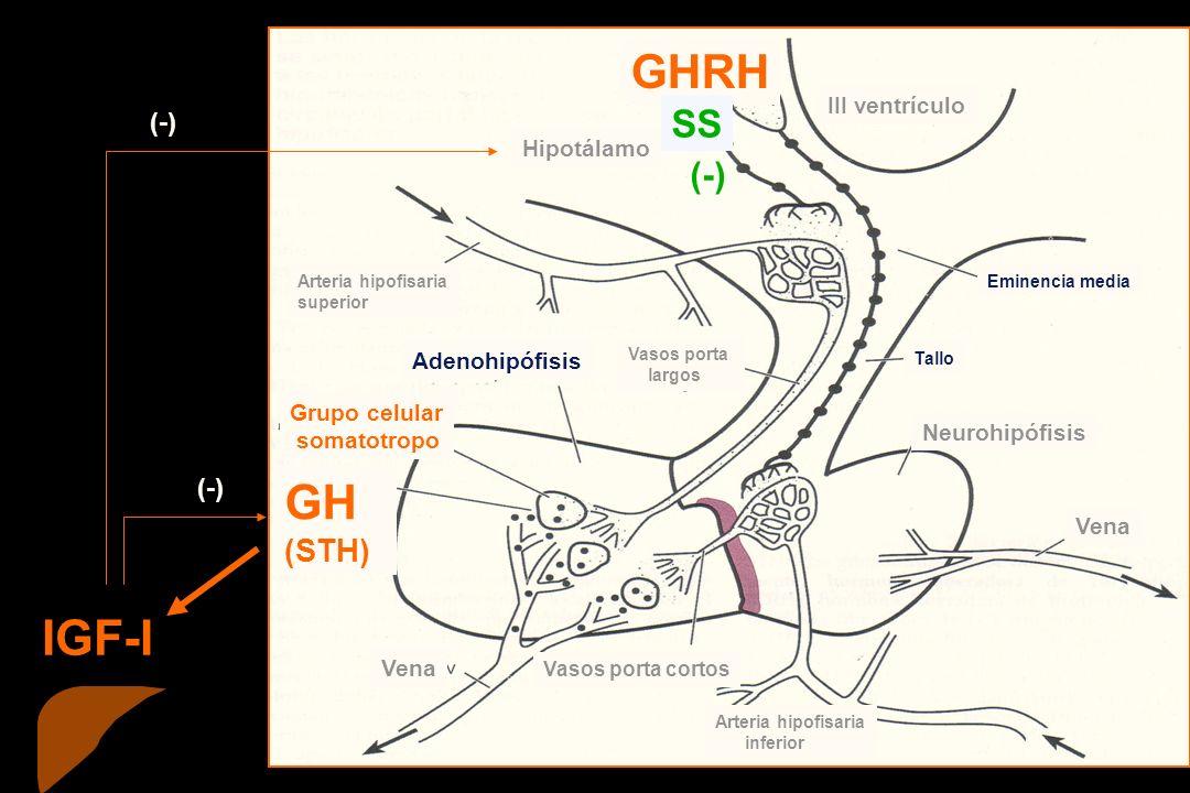 Grupo celular somatotropo Vena Vasos porta cortos Neurohipófisis Adenohipófisis III ventrículo Hipotálamo Arteria hipofisaria superior Arteria hipofisaria inferior Eminencia media Tallo Vasos porta largos GHRH GH (STH) (-) IGF-I SS (-)