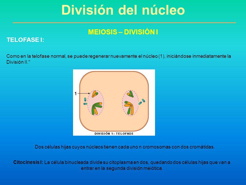 Como en la telofase normal, se puede regenerar nuevamente el núcleo (1), iniciándose inmediatamente la División II.
