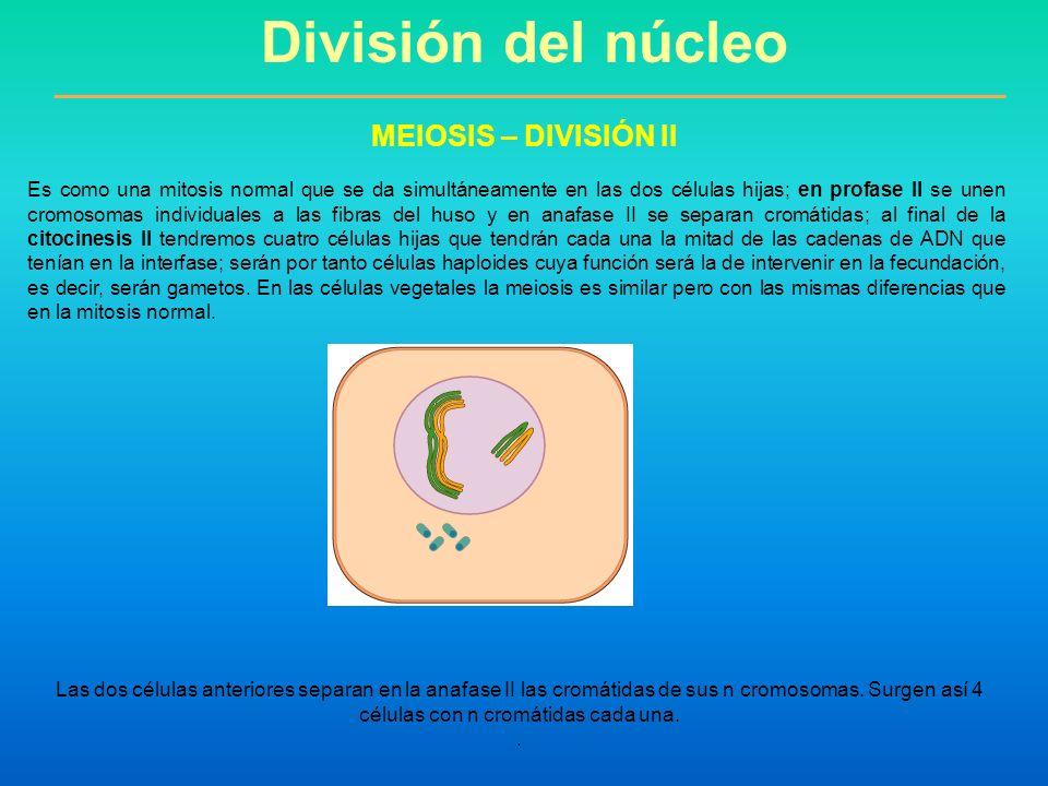 Es como una mitosis normal que se da simultáneamente en las dos células hijas; en profase II se unen cromosomas individuales a las fibras del huso y e