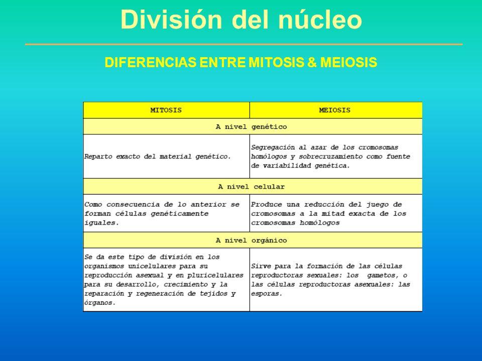 División del núcleo DIFERENCIAS ENTRE MITOSIS & MEIOSIS