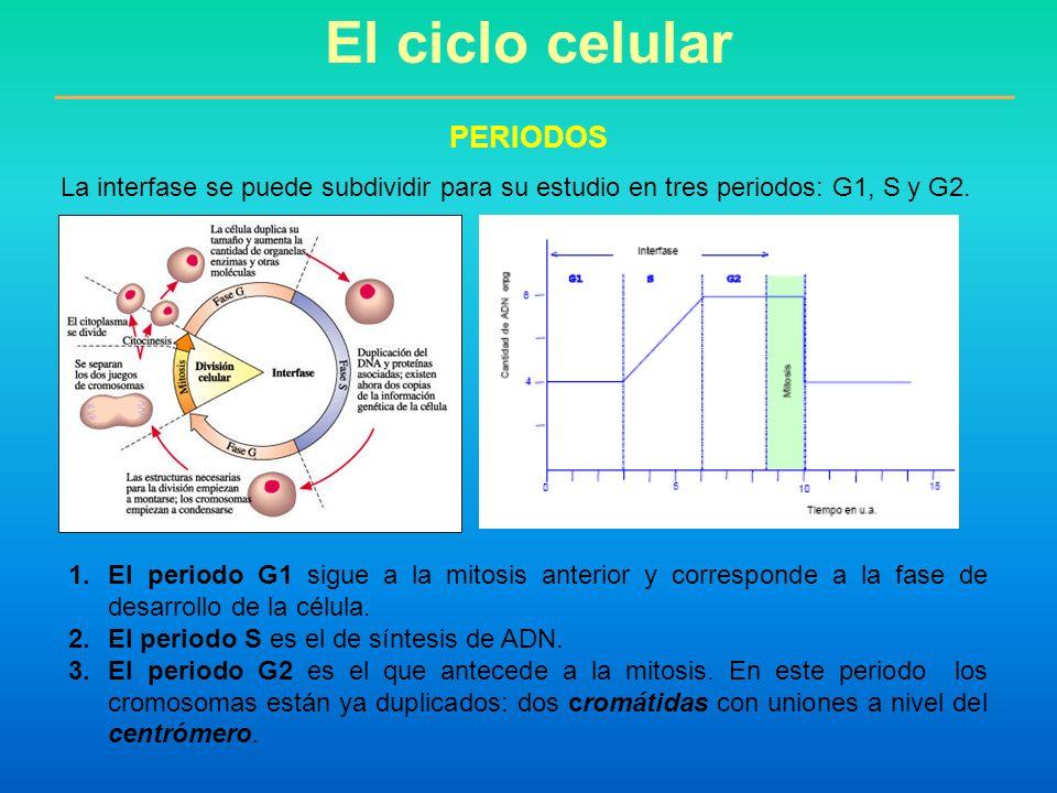El ciclo celular PERIODOS La interfase se puede subdividir para su estudio en tres periodos: G1, S y G2. 1.El periodo G1 sigue a la mitosis anterior y