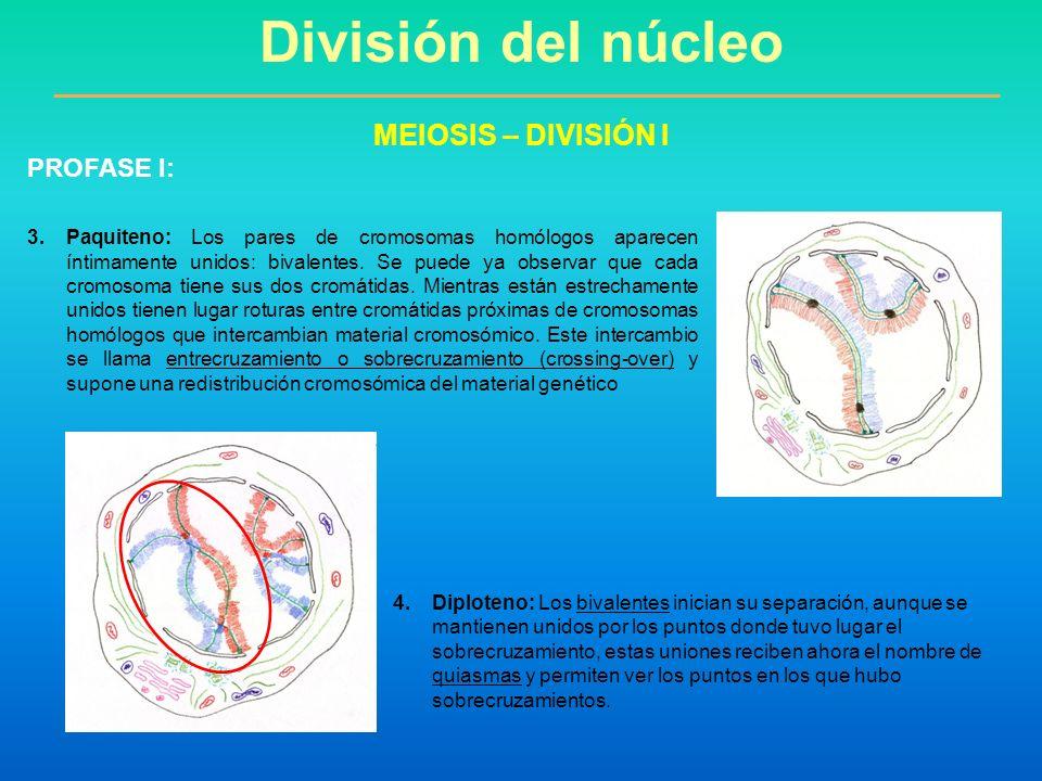 3.Paquiteno: Los pares de cromosomas homólogos aparecen íntimamente unidos: bivalentes. Se puede ya observar que cada cromosoma tiene sus dos cromátid