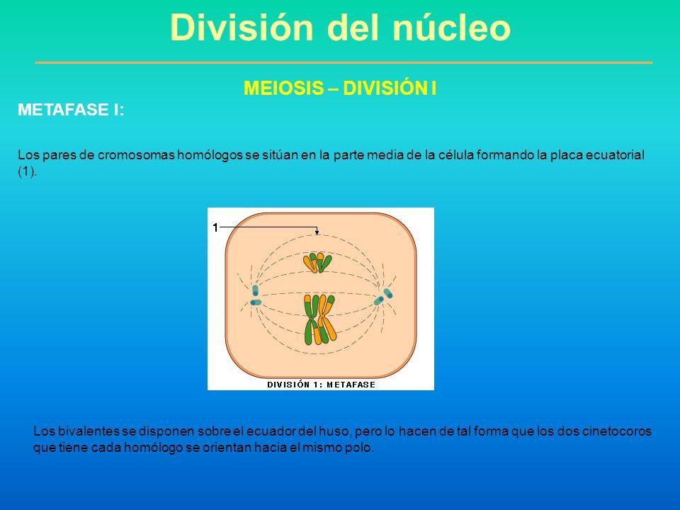 Los pares de cromosomas homólogos se sitúan en la parte media de la célula formando la placa ecuatorial (1). División del núcleo MEIOSIS – DIVISIÓN I