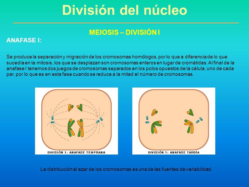 Se produce la separación y migración de los cromosomas homólogos, por lo que a diferencia de lo que sucedía en la mitosis, los que se desplazan son cr