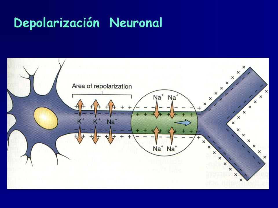Depolarización Neuronal