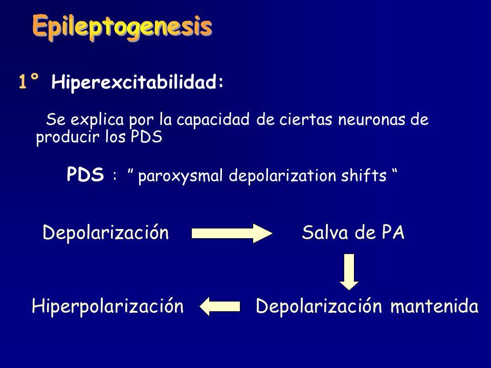 1° Hiperexcitabilidad: Se explica por la capacidad de ciertas neuronas de producir los PDS PDS : paroxysmal depolarization shifts Depolarización Salva
