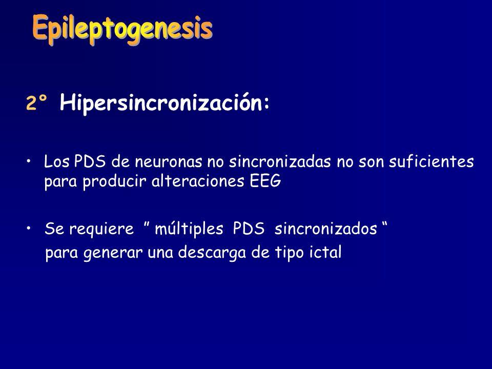 2° Hipersincronización: Los PDS de neuronas no sincronizadas no son suficientes para producir alteraciones EEG Se requiere múltiples PDS sincronizados